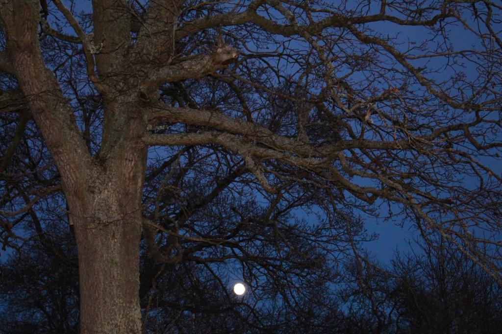 fullmånemånemedträd